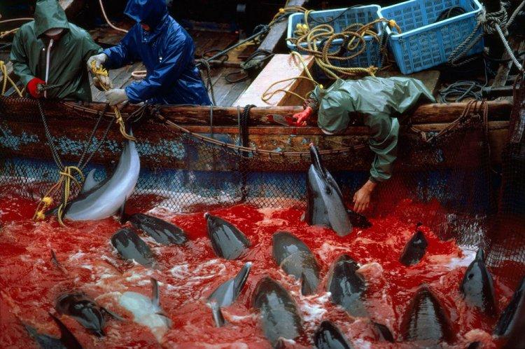 Картинки по запросу В Японии опять убили и расчленили дельфинов